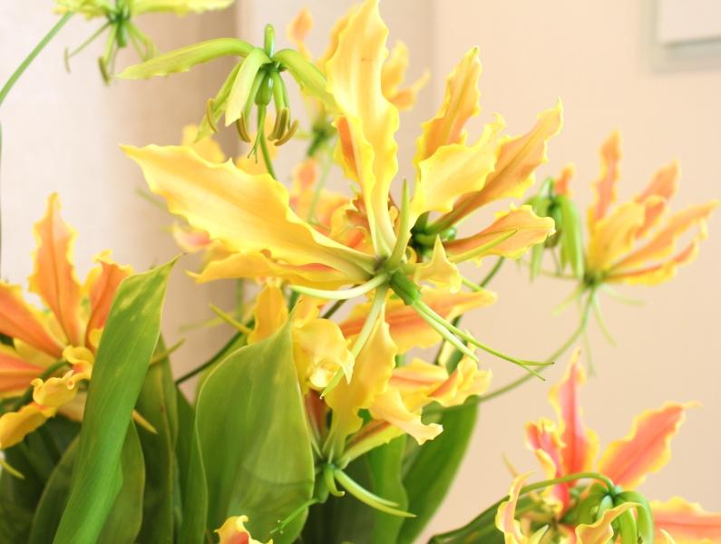 木下内科クリニックの生け花(卯月の参):「グロリオサ」4